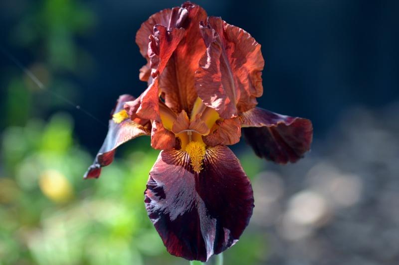 Iris-rust-4_13