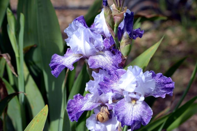 Iris-Speckled