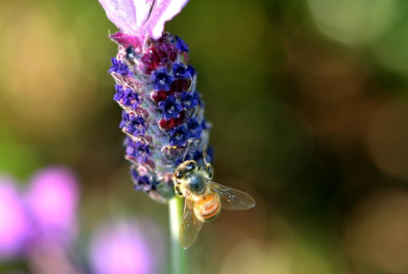 Lavender-Bee5