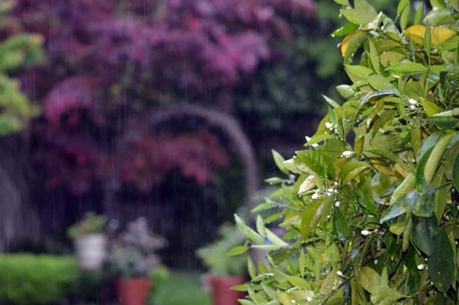 Orange-Blossoms_Rain