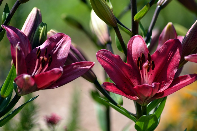 Asiatic-lily-5_24_13