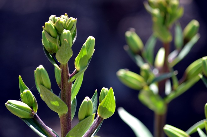 Asiatic-Lily-Bud1_5_13