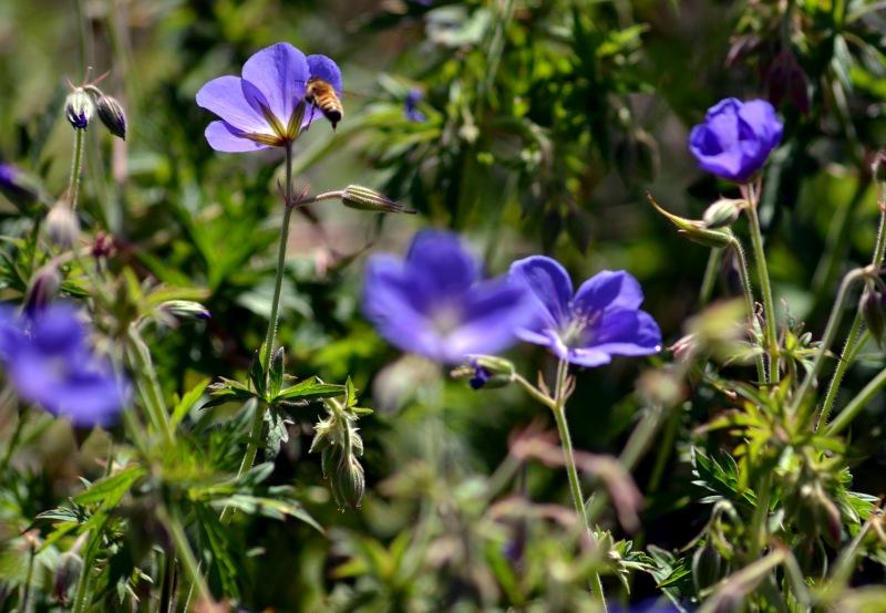 Bee-Blue-Geranium