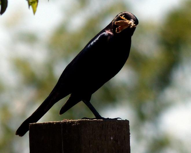 BlackBird-with-Bee