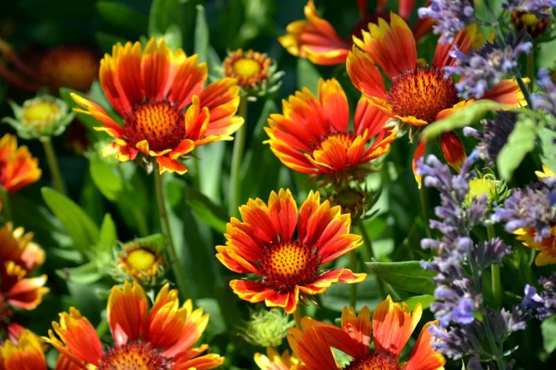 Blanket-Flower-5_13