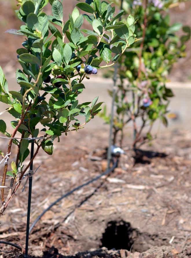 Blueberries-Rabbit-Hole