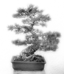 Bonsai 1 BW