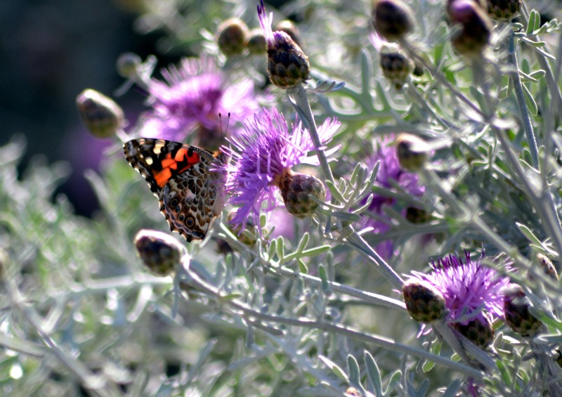 Butterfly-Thistle1_5_13