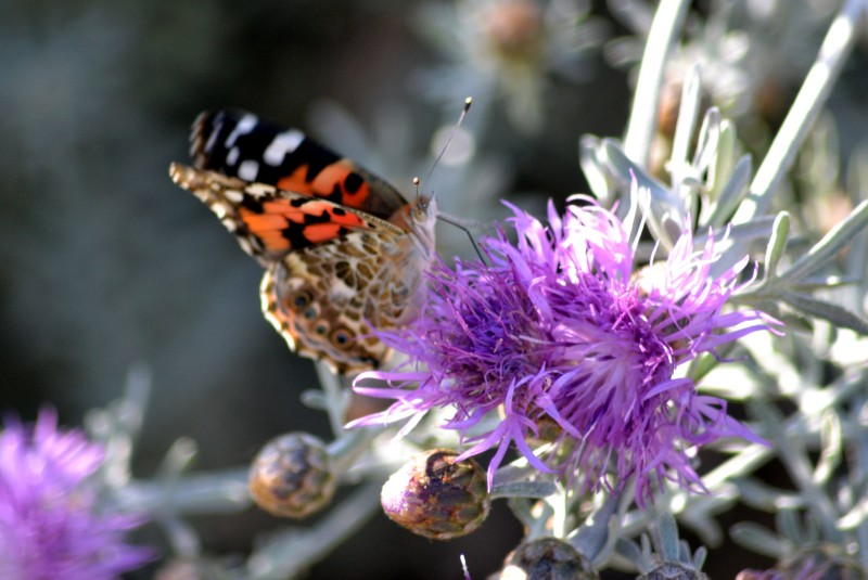 Butterfly-Thistle2_5_13
