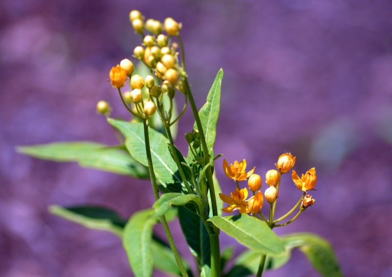 Butterfly-Weed