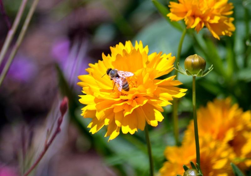 Coreopsis-Bee