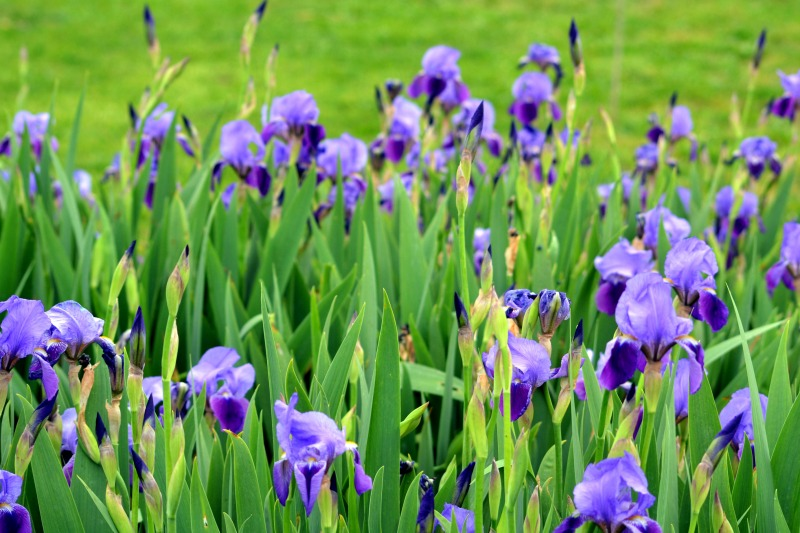 Iris-Field