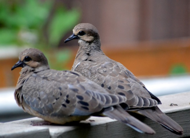 Mourning-dove1_5_13