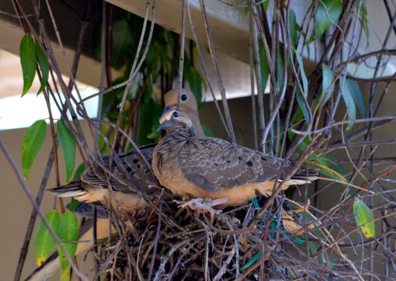 Mourning-Doves2_5_13