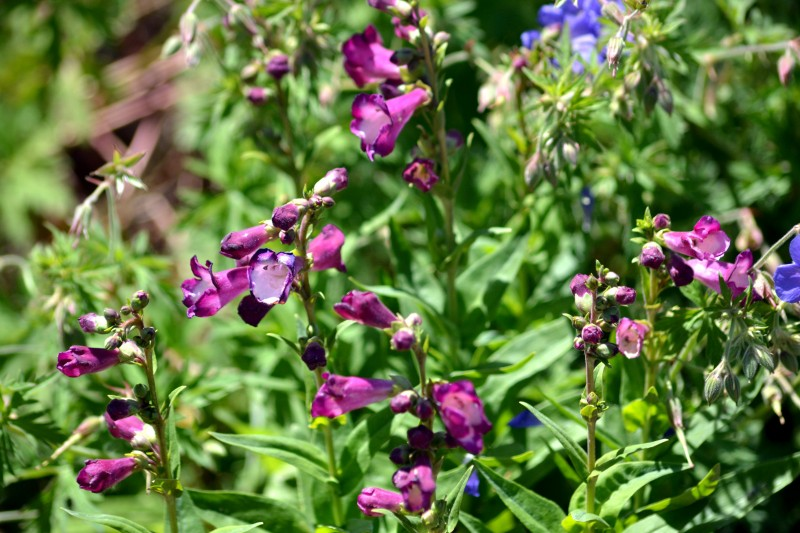 Penstemon-5_13