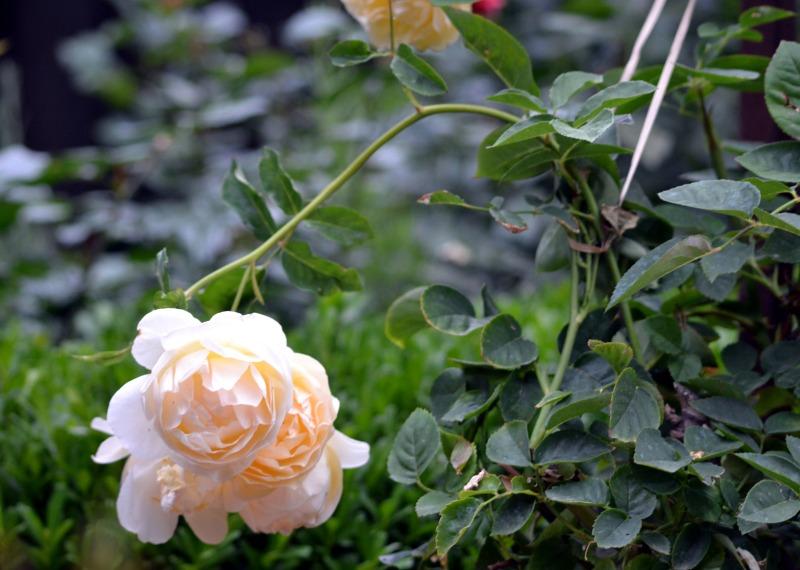 Rose-Overfed2