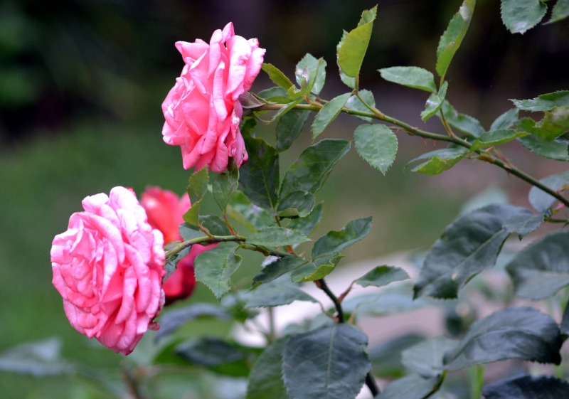 Rose-Overfed4