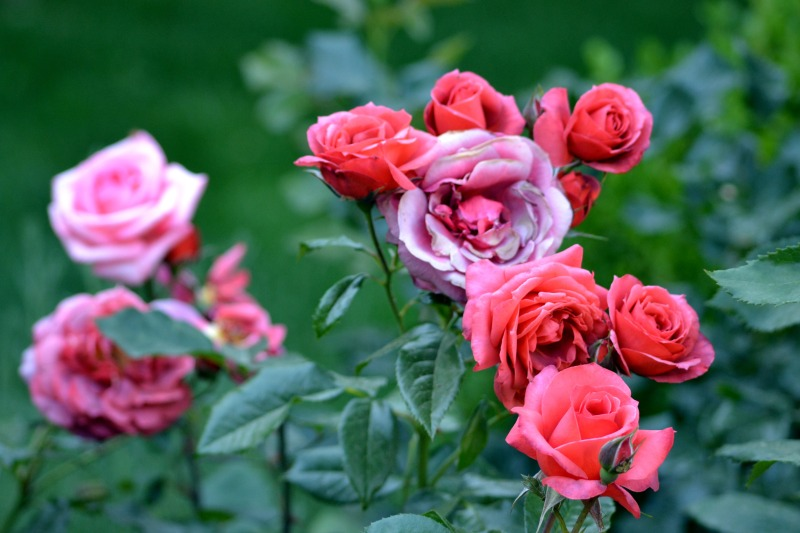 Roses1_5_13