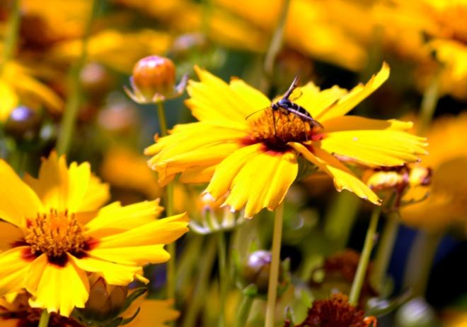Wasp-Coreopsis