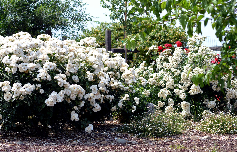 Roses In Garden: Wordless Wednesday: White