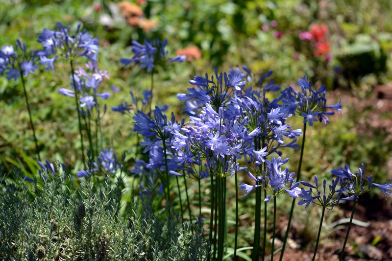 Agapanthus-blue-6_13