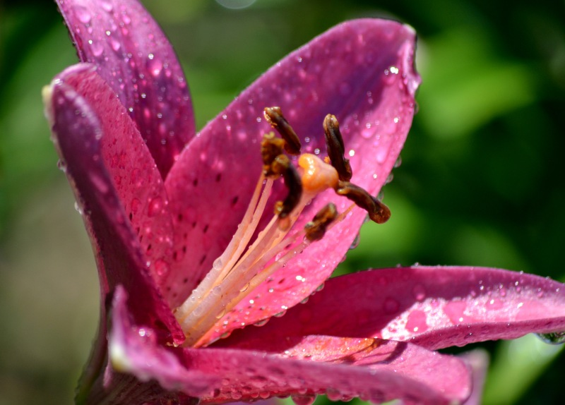 Asiatic-Lily-Wet
