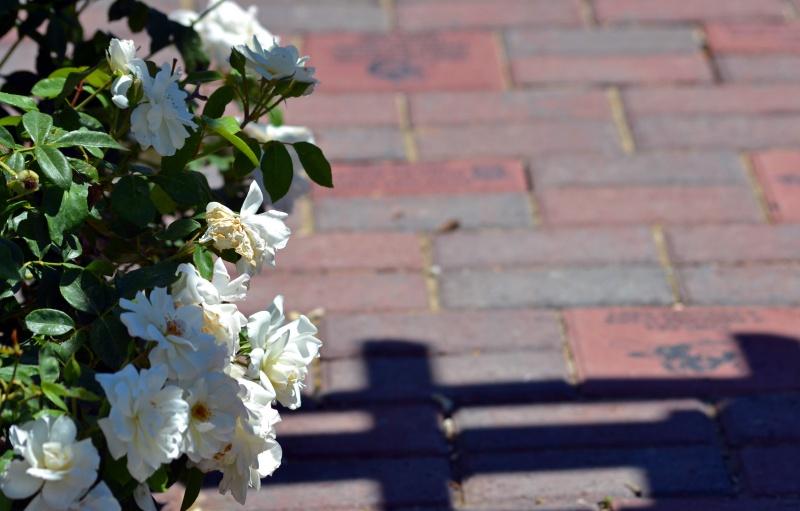 Brick-White-Roses