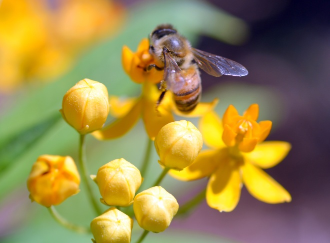 Butterfly-Weed_Bee-1_6_13