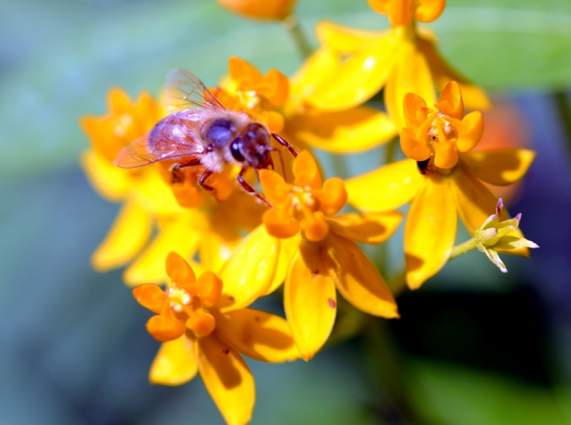 Butterfly-Weed_Bee-2_6_13