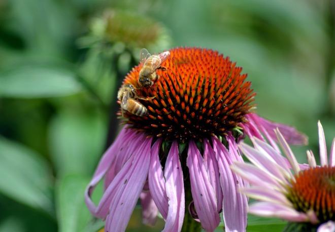 Coneflower-Bee-1_6_13