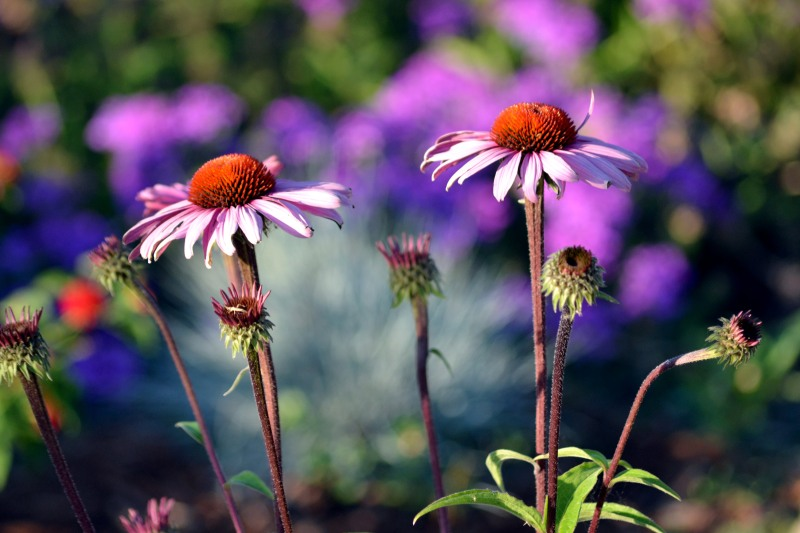 Coneflower-evening-6_13