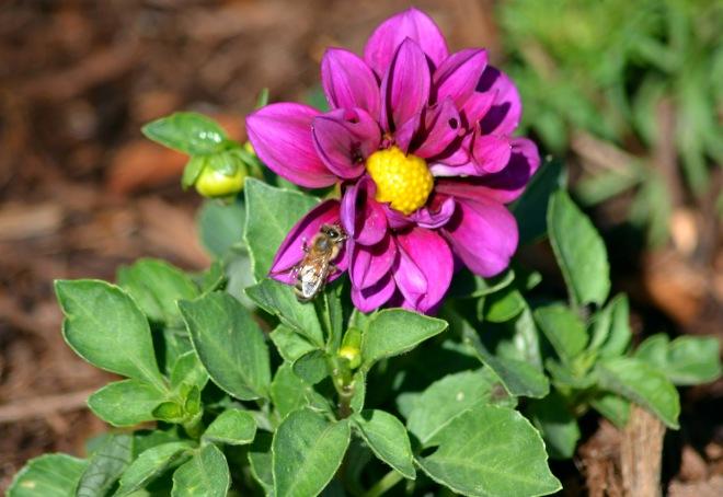 Dahlia-Bee-1_6_13