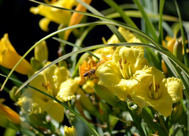Daylilies-Bee-1_6_13