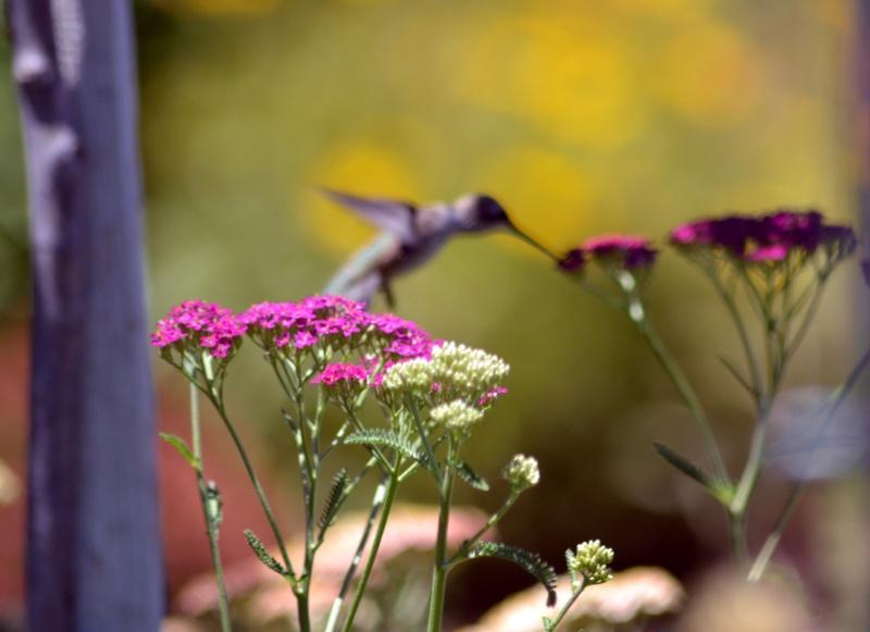 Hummingbird-Elusive-2-6_13