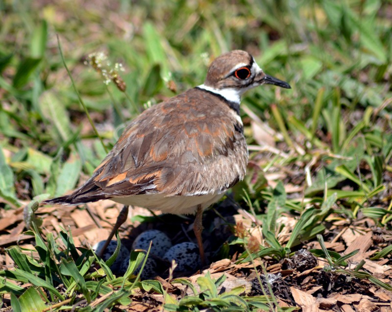 Killdeer-Nest-1-6_13