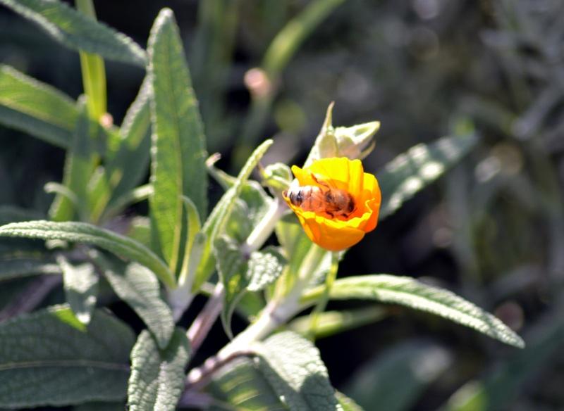 Poppy-Bee-1_6_13