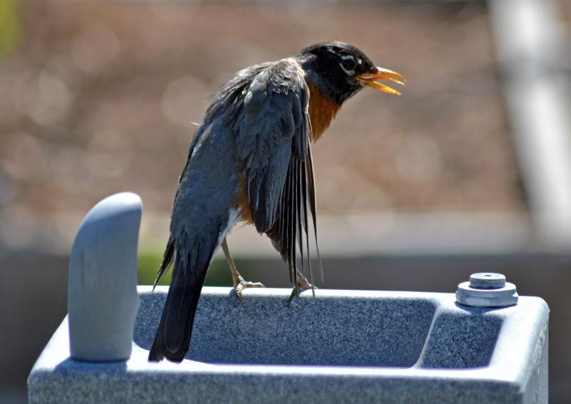 Robin-Wants-Water