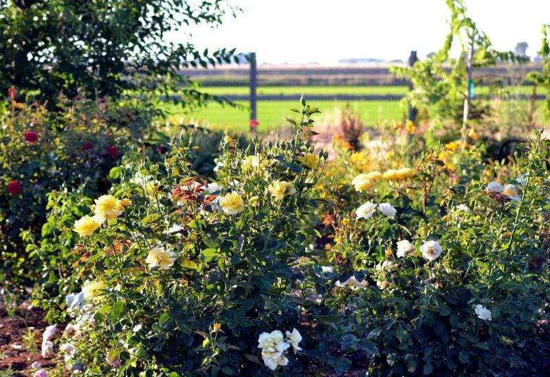 Rose-Garden-1-6_13
