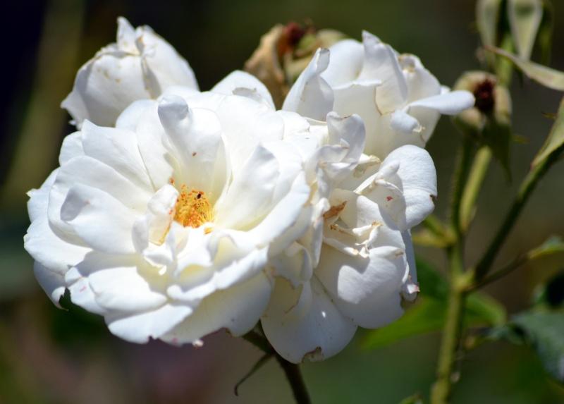 Rose-White-6_13