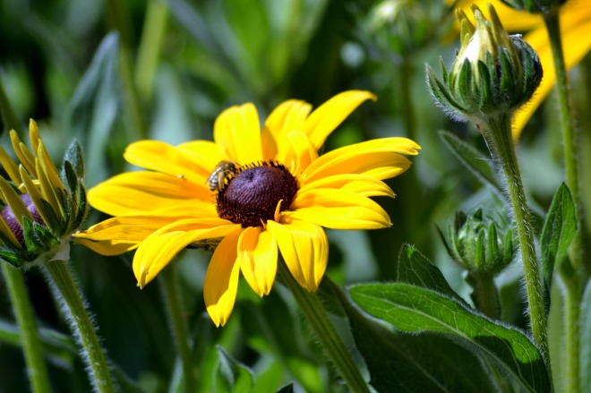 Rudbeckia-Butterfly-Bed-2_6_13