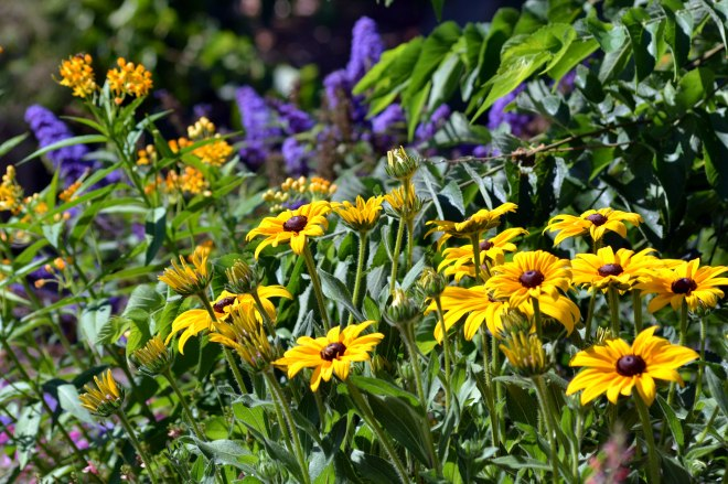 Rudbeckia-Butterfly-Bed-3_6_13