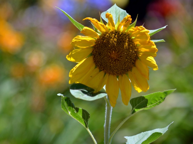 Sunflower-6_13