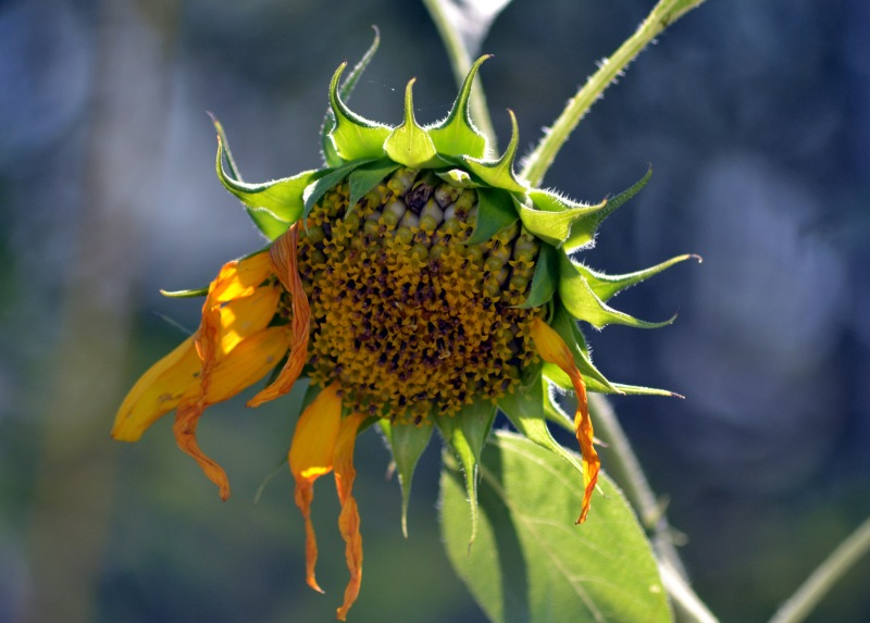 Sunflower-bird-eaten