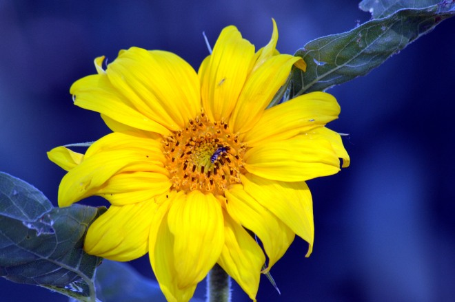 Sunflower-first-1_6_13