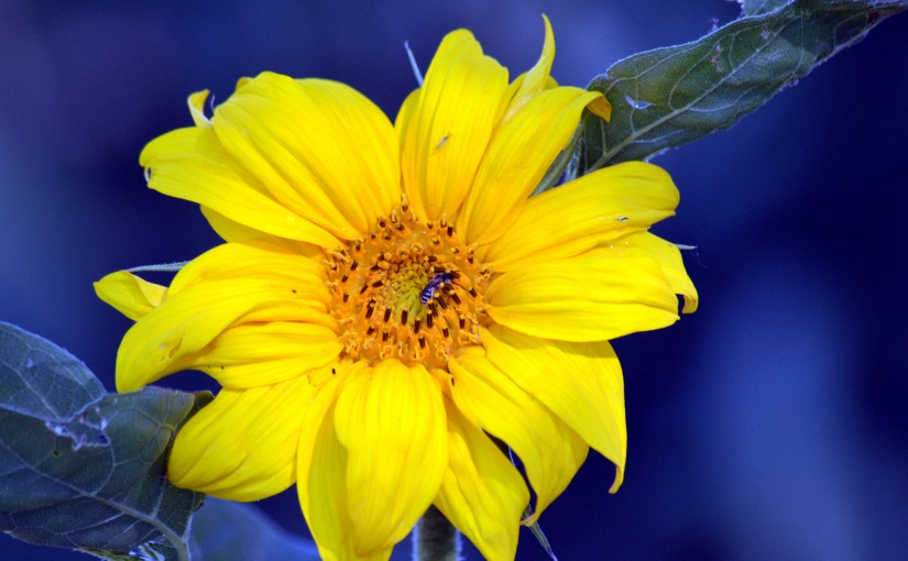 Wordless Wednesday: First Sunflower of theSeason