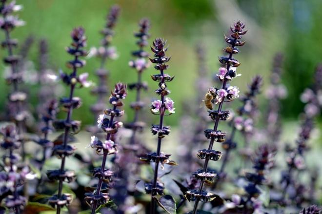 Basil-Purple