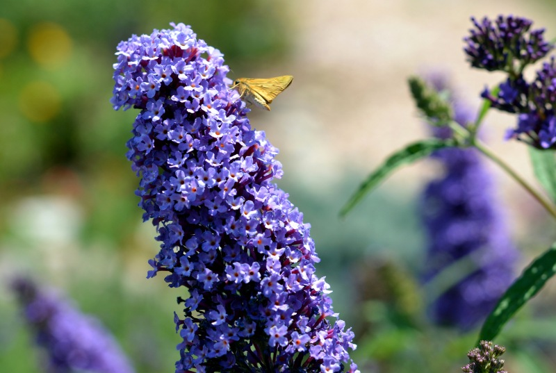 Butterfly-Bush-Purple