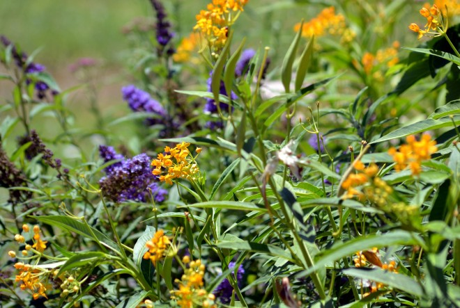 Butterfly-Weed-Yellow