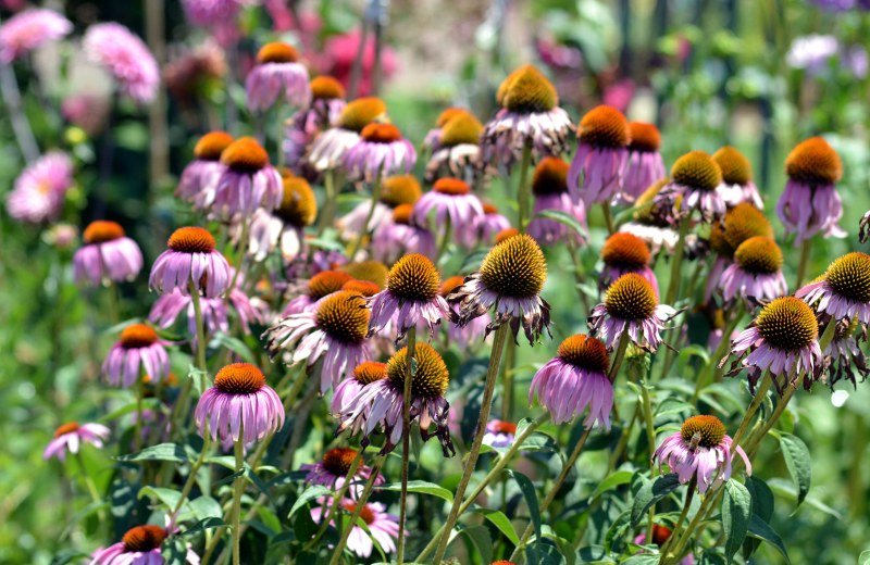 Coneflower-Heat-7_13