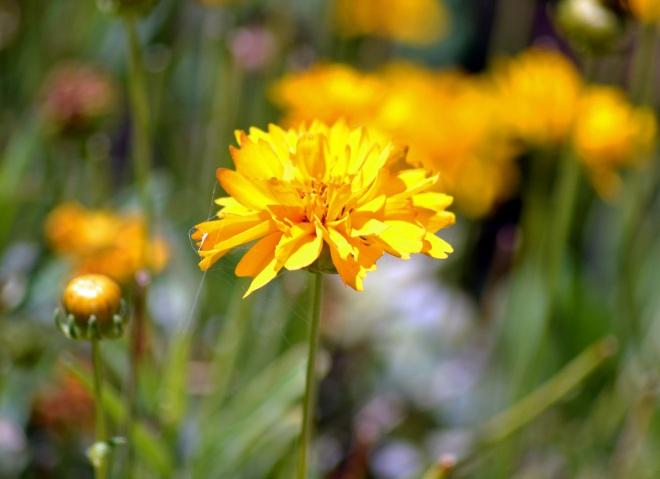 Coreopsis-Yellow
